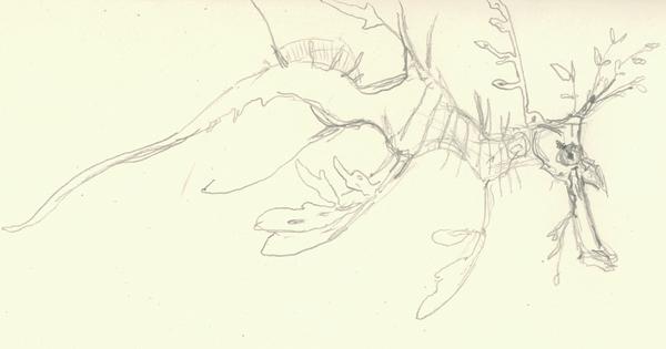 Leafy sea dragon drawing